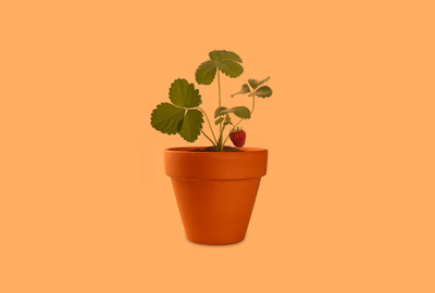 terracotta pot with small and new strawberry plant with one strawberry on plant